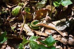 Mały zielonej jaszczurki obsiadanie wśród liści Obraz Stock