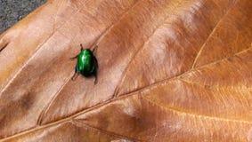 Mały zielony ścigi czołganie na dużym liściu z żyłami Zdjęcia Stock