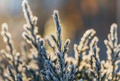 Mały zielony jałowcowy drzewo z biały bokeh, śniegiem i mróz i zaświeca dla bożych narodzeń i nowego roku dekoracji w wintergarde obraz royalty free