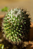 Mały zielony kaktus w miękkiej ostrości Zdjęcia Royalty Free