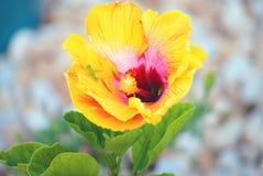 Mały Zielony krykiet na Żółtym Tropikalnym poślubnika kwiacie zdjęcie stock