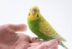 Mały zielony parakeet obsiadanie na ręce Śliczna mała papuga obrazy royalty free