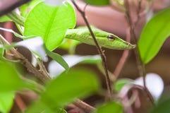 Mały zielony winogradu wąż, camouflaged Zdjęcie Royalty Free