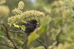 Mały Zmielony Finch Geospiza fuliginosa fotografia stock