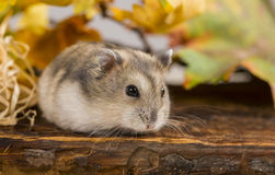 Mały zwierzę domowe chomik Obrazy Royalty Free