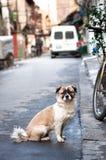 Mały zwierzę domowe pies pozuje w ulicie w Szanghaj starym miasteczku Zdjęcie Royalty Free