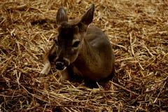 Mały zwierzę w sianie Zdjęcia Stock
