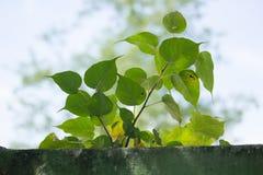 Małych potomstw Zielony drzewny przyrost na starej ścianie, Bodhi drzewo Fotografia Royalty Free