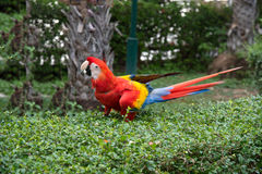 Ma-core parrot, bird on green tree Royalty Free Stock Images