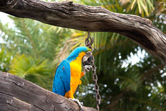 Ma-core parrot on wood from bottom view Royalty Free Stock Image
