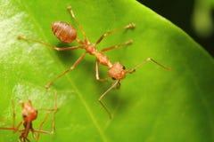 Mała czerwona mrówka pracuje na drzewie Fotografia Stock