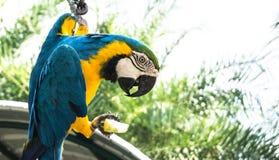 Ma de papegaai van de kernvogel eet fruit in de tuin stock foto