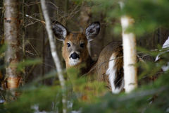 Ma Doe in Winter. Doe in Woods Peering Through Birch Trees Royalty Free Stock Photo