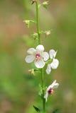 ćma dziewanny wildflower Zdjęcia Stock