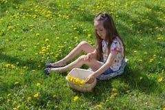 Mała dziewczynka na dandelion gazonie podnosi up dandelions w koszu Obraz Royalty Free