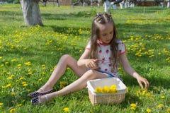 Mała dziewczynka na dandelion gazonie podnosi up dandelions w koszu Zdjęcia Stock