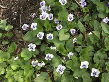 małe fioletowy kwiat Zdjęcie Royalty Free