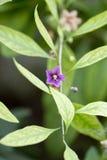 małe fioletowy kwiat Makro- Fotografia Royalty Free