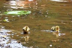Małe kaczki przy jeziorem fotografia stock