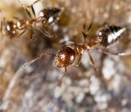 Małe mrówki w naturze Makro- Zdjęcia Stock