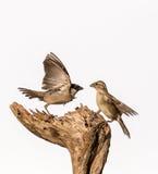małe ptaki Obrazy Royalty Free