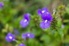Małe purpury Zdjęcie Royalty Free
