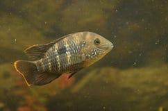 Małe ryba Fotografia Royalty Free