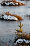 Małe sosny na bagnie w zimie Obraz Royalty Free