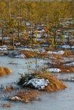 Małe sosny na bagnie w zimie Fotografia Royalty Free
