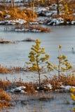 Małe sosny na bagnie w zimie Zdjęcia Stock