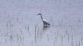 Ma?ego egret Egretta garzetta na bagna polowaniu dla insekt?w jedz?cy w s?onecznym dniu zbiory wideo