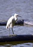 Małego egret Egretta garzetta na jeziorze w Bucharest, Rumunia Fotografia Royalty Free
