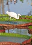 Małego egret polowanie Zdjęcie Royalty Free