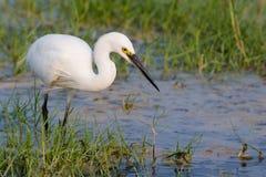 Małego Egret pozycja w wodzie Obrazy Stock