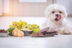 Małego psa i jedzenia substancja toksyczna on Zdjęcie Stock