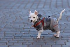 Małego psa stojak Obraz Royalty Free