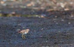 Małego Sandpiper Calidris minutilla Zdjęcie Royalty Free
