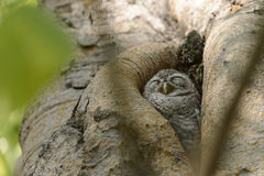 Małej sowy dosypianie w drzewie Zdjęcia Royalty Free