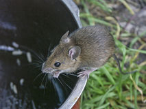 Mała Europejska drewniana mysz Obraz Stock
