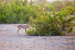 Mała gazela na Sir Bania Yas wyspie, UAE Zdjęcie Royalty Free