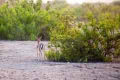 Mała gazela na Sir Bania Yas wyspie, UAE Obraz Royalty Free