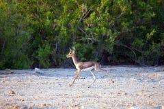 Mała gazela na Sir Bania Yas wyspie, UAE Fotografia Royalty Free