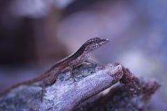 Mała gekon jaszczurka na wyspie karaibskiej Tortola Obrazy Royalty Free