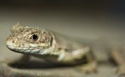 mała jaszczurka Zdjęcie Royalty Free