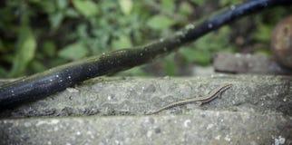 Mała jaszczurka Zdjęcia Royalty Free