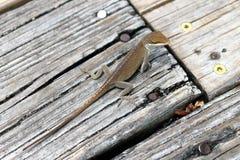 mała jaszczurka Obraz Stock