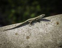 Mała jaszczurka sunbathing na skale Fotografia Stock