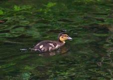 Mała kaczka na jeziorze Zdjęcie Stock