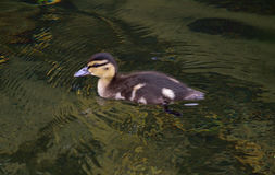 Mała kaczka na jeziorze Obrazy Royalty Free