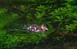 Mała kaczka na jeziorze Fotografia Stock